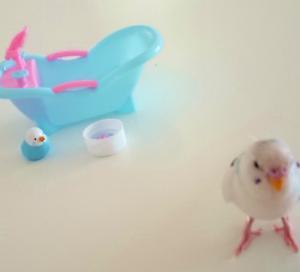 新作グレースローズ  ・ 水浴び動画