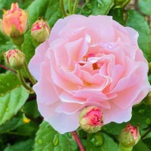 薔薇の季節が始まりました