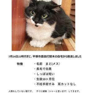 迷子の白黒猫 探しています -平塚市-
