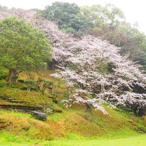 桜と菜の花の競演観れず! 西海市・七ツ釜鍾乳洞 2020/3/28