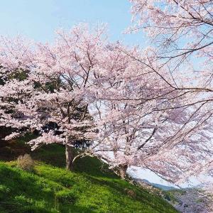 桜咲く絶景!・・・佐賀の庭木ダム  その2
