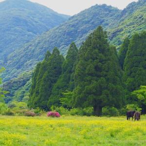 雲仙・田代原キャンプ場近くの牧場で  2020/5/23