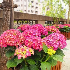 アジサイ咲く 長崎・眼鏡橋 2020/5/30 その1
