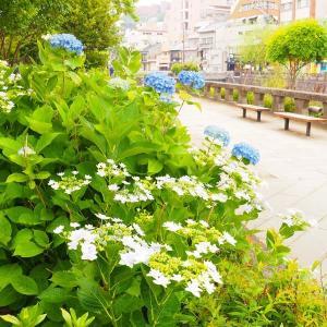 アジサイ咲く 長崎・眼鏡橋 2020/5/30 その2