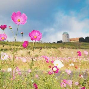 コスモス咲きました。 長崎・あぐりの丘・2020