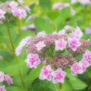 アジサイの花が咲き始めました ~梅雨入り宣言 長崎に~