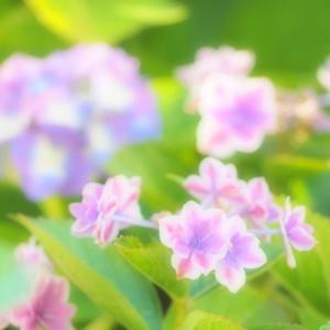 ふんわり鮮やか・あじさい ~中島川公園で・・・~