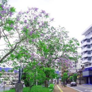 世界三大花木・ジャカランダ咲く小浜温泉 2021/6/6