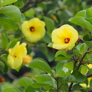 夏に咲く『はまぼう』・西海市の高地地区で