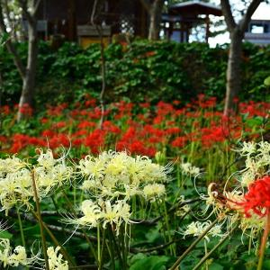 西海市・長尾城跡に咲く彼岸花