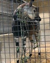 Okapi:Beautiful