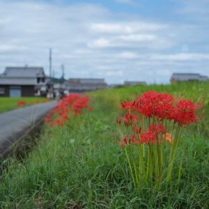 明日香村で彼岸花まつりが開催されています