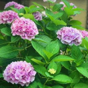 庭の紫陽花を自作の花器に生けてみる!