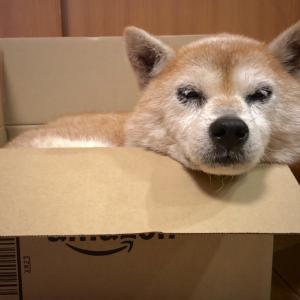 柴犬コロちゃん