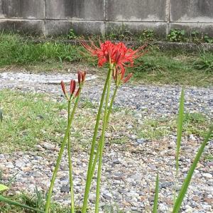 彼岸花が咲きだした