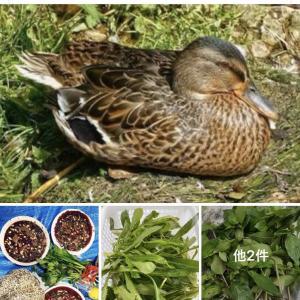 【悲報】ベトナム人さん、畑で放し飼いにされてる鴨を捕まえて食べてしまう