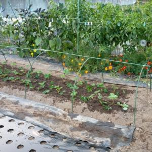 イチゴの定植
