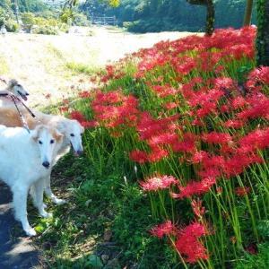 坂本棚田(棚田百選)と紅白ヒガンバナ