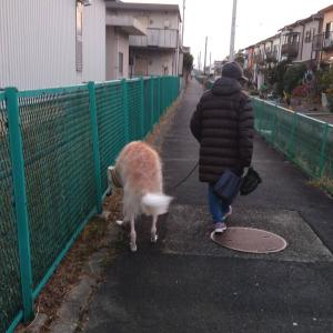 ユリ母順調に散歩中