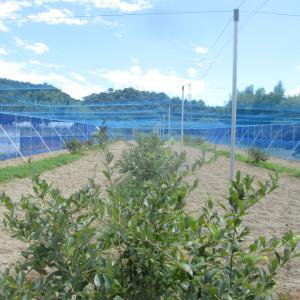 新植のブルーベリー園
