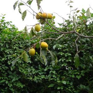 今年は柿が不作?
