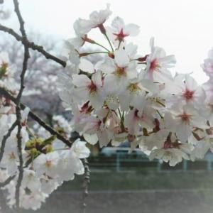 今年は、桜吹雪に挑戦