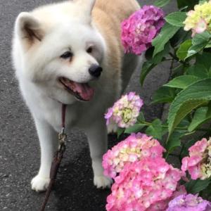 梅雨の始まりと紫陽花の季節(3)