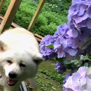 おやまの紫陽花(2)