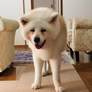 秋田犬貴久桜(21)