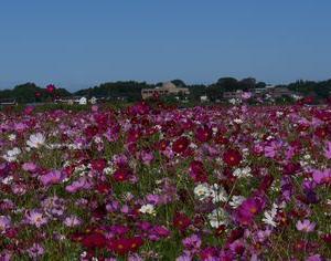 益子町のコスモス 陶器の町の秋桜