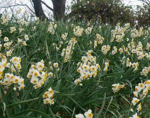 【権現堂堤・水仙】1月17日 まだ咲き始めです。【開花情報】