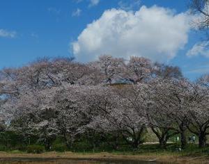 さきたま古墳公園 古墳、桜、菜の花、青空。何故か神秘的な空間。2020年3月24日