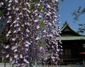 菖蒲神社の藤(埼玉県久喜市) 2020年5月1日