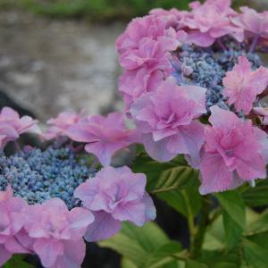 一人紫陽花祭り