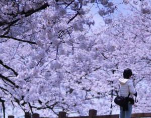 キレイな桜並木を歩いていても、頭の中は釣りのことでいっぱい(笑)。