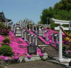 シバザクラがきれいな近所の神社