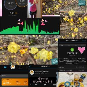 坂100m×10本の昼ラン♪満開の透明な黄色いロウバイ♪☆