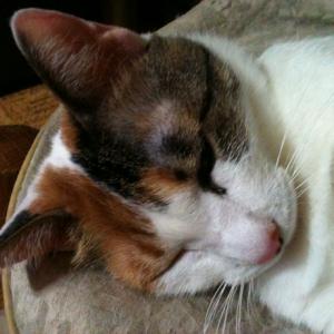 飼い猫の弐子が静かに息を引き取りました