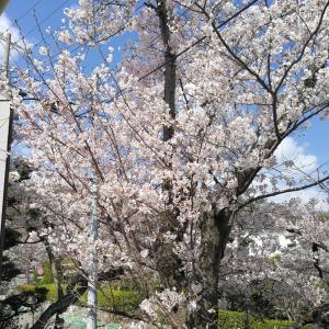 神戸アトリエの桜