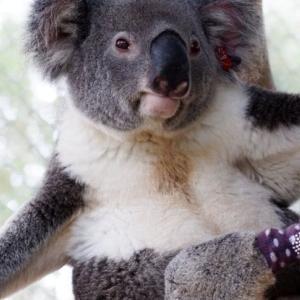 世界初の義肢装着を受ける3本足のコアラ