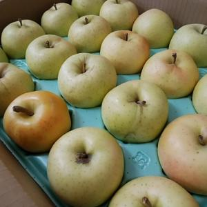 人気りんごトキ今日から販売開始