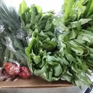 朝採り 鮮度抜群野菜 採れたてを仕入れてきました 朝採りキュウリも来たよ
