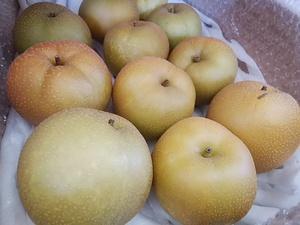 地物だからできる今朝採りの梨販売 鮮度抜群で甘いシャリシャリな梨
