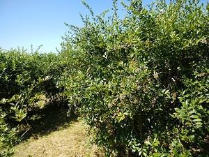 今年は豊作 甘いブルーベリー 27日から販売開始