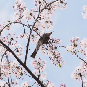散り際の桜とヒヨドリ