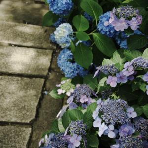 石畳と紫陽花