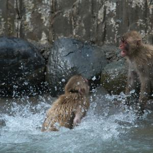 サルの喧嘩 その2