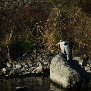 浅川の野鳥