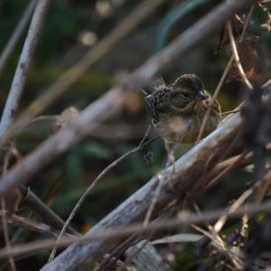 浅川の野鳥 その2