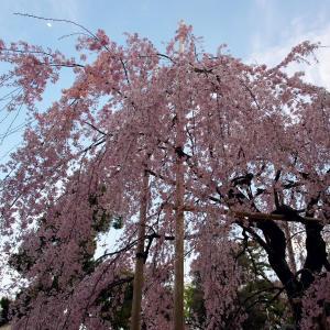 桜 2021 大國魂神社